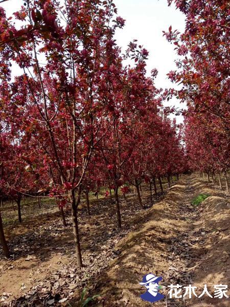 红宝石海棠繁殖方法及培育技术