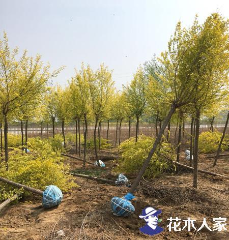 金叶榆,金叶榆的产地,金叶榆的价格,金叶榆图片