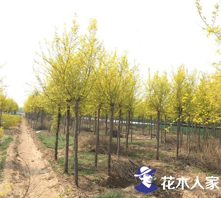 高杆金叶榆、地接金叶榆 、扦插金叶榆,它们之间有什么区别