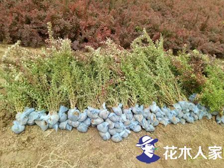 红叶小檗种子什么时间种植,红叶小檗,红叶小檗种籽