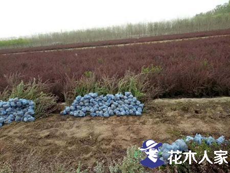 红叶小檗什么时间种植比较适合?