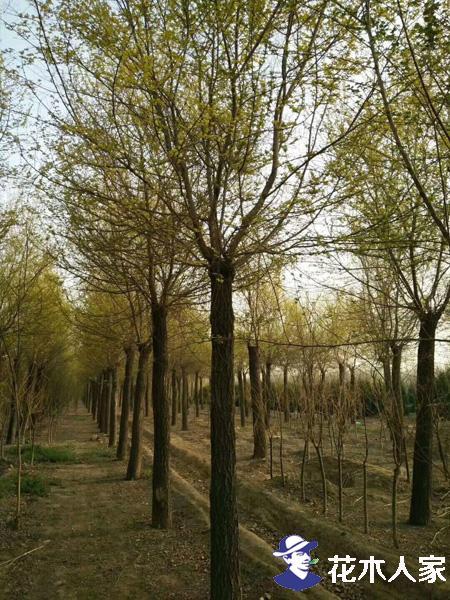 今年最新最全金叶榆树苗的价格表