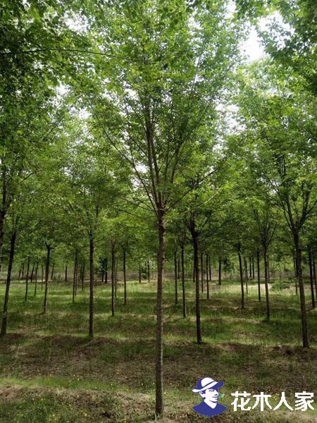 乡土树种榆树的发展出路在哪里?