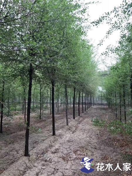 榆树的价值和栽培技术