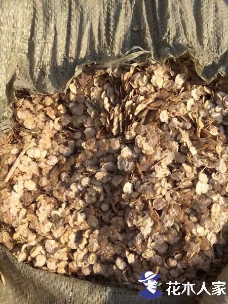 榆树种子照片
