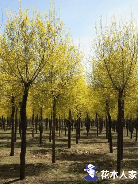 高接金叶榆绢野螟防治措施