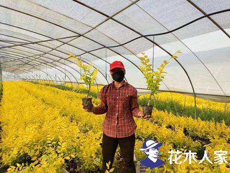 金叶榆的室内盆景的栽培方法及其习性