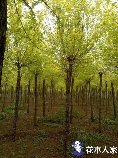金叶榆的施肥及土壤管理方法