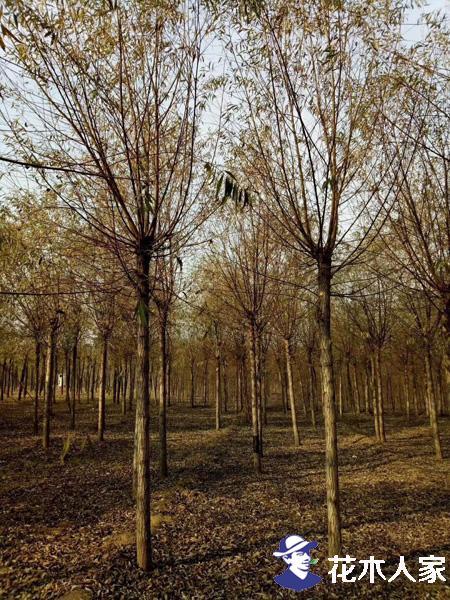 旱柳的园林价值