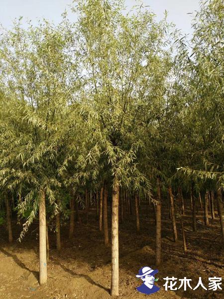 旱柳种植管理技术