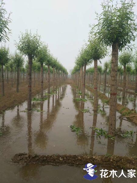 旱柳如何种植