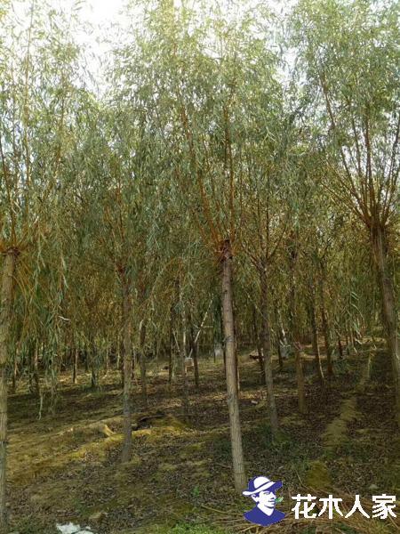 最新最全的金丝柳种植技术