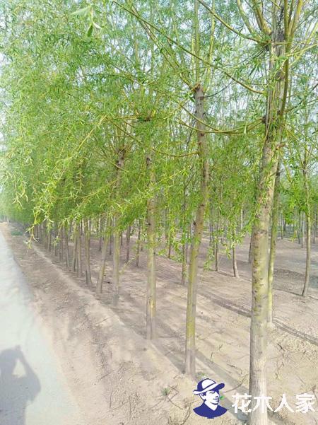 苗圃中金丝柳繁育及种植技术