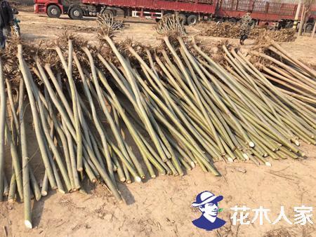金丝柳在园林绿化中的优点