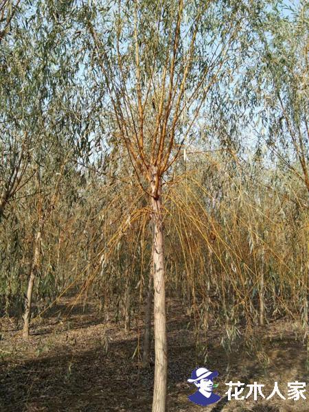 金丝柳树扦插育苗技术