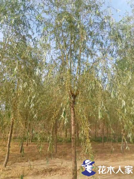 金丝柳树腐烂病的防治方法