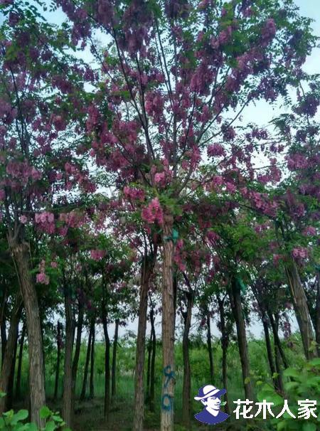 香花槐的枝条扦插技术
