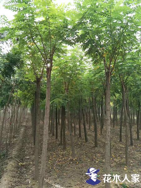 香花槐结种子吗 香花槐常见繁殖栽种方式