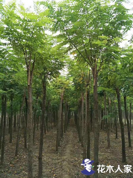 香花槐种植时应注意的问题