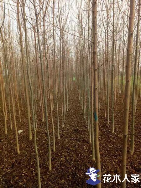 速生白蜡树种植技术