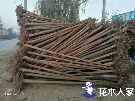 保定博野县:大规格原生白蜡供不应求