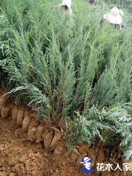 沙地柏的种植与管理