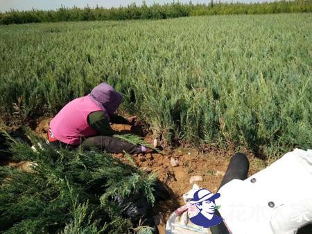 沙地柏扦插繁殖技术及扦插后的管理