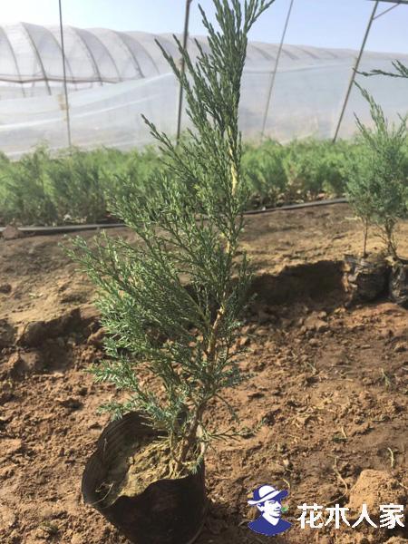 沙地柏在绿化环保中的应用
