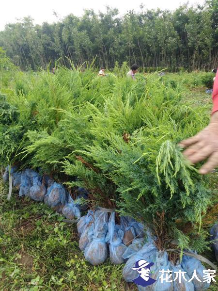 沙地柏应该怎样栽培?