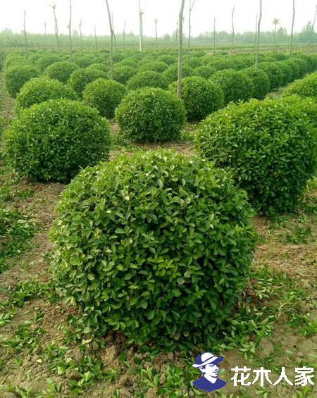 胶东卫矛种植方法