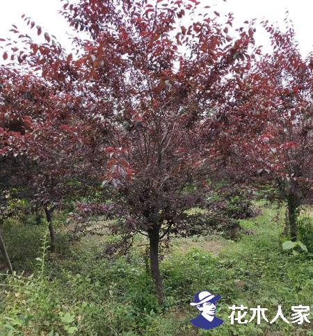 红叶李基地照片