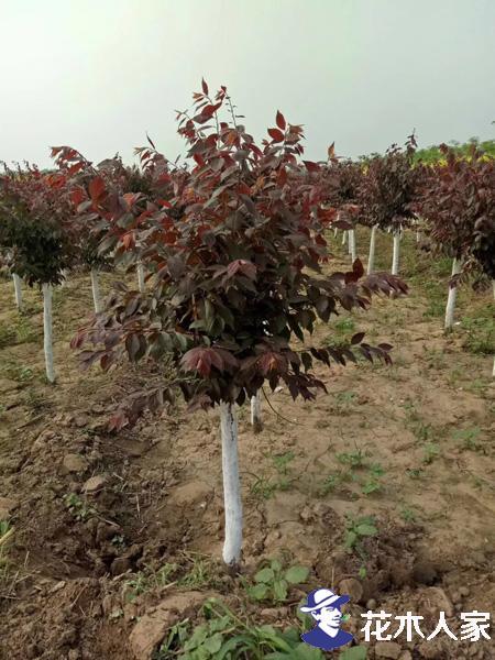 红叶李习性及红叶李栽培管理方法