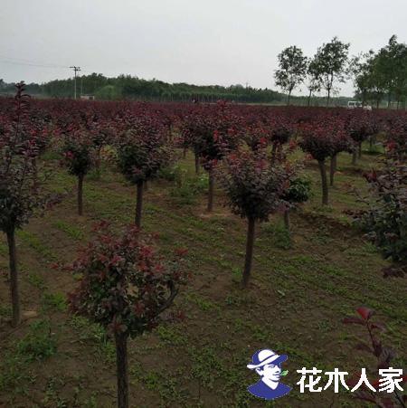 红叶李常见病虫害及防治方法详解