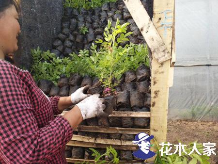四季玫瑰种植栽培技术