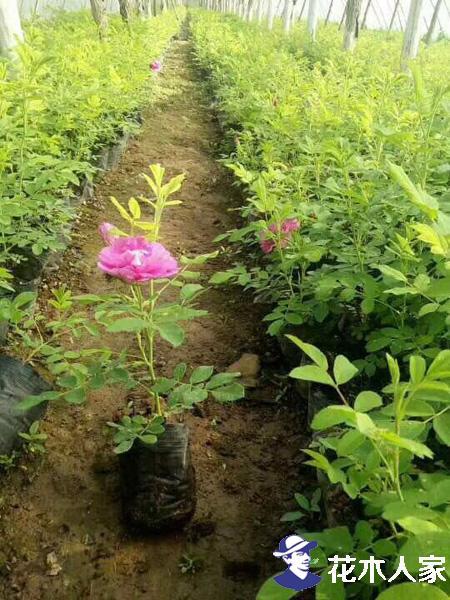 目前市场上四季玫瑰苗的价格如何