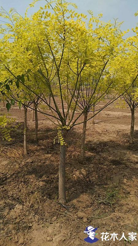种植金叶槐要注意的几大要点
