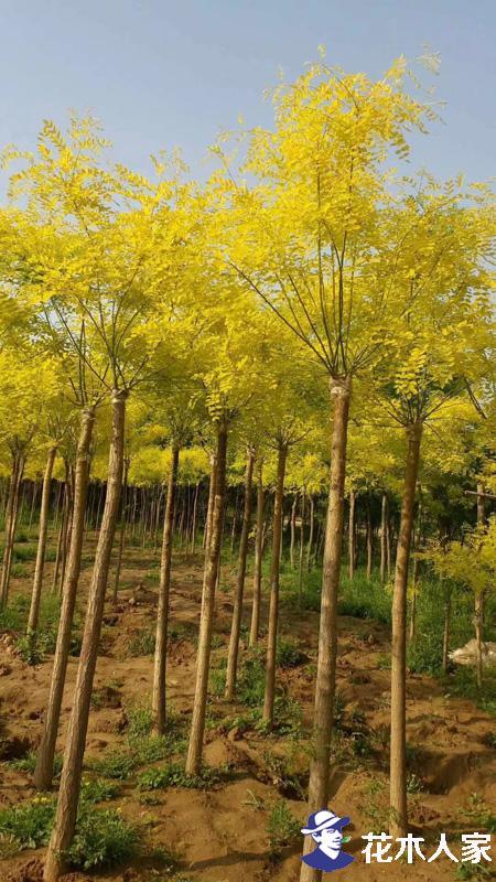 怎么样区分金枝槐和金叶槐
