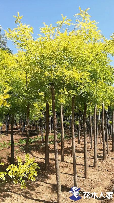 金叶槐培植3步走 剪砧 抹芽 固定提高产量