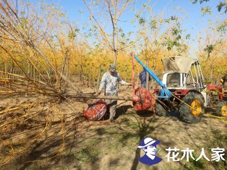 彩叶树品种—黄金槐
