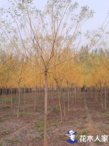 黄金槐、金枝槐的芽接技术