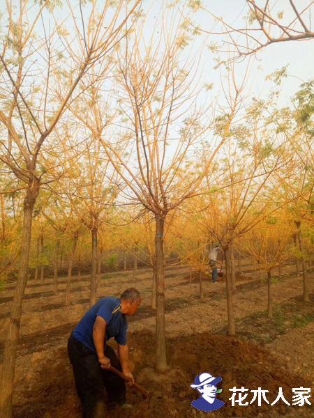 黄金槐的繁育方法