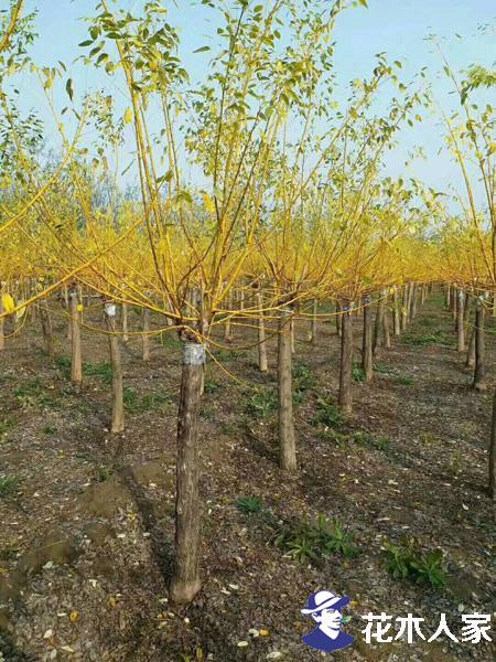 金枝槐怎么种?金枝槐种植技术详解