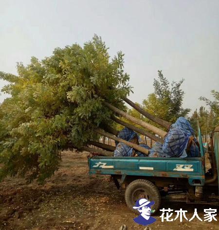 绿化公司采购金枝槐前注意事项