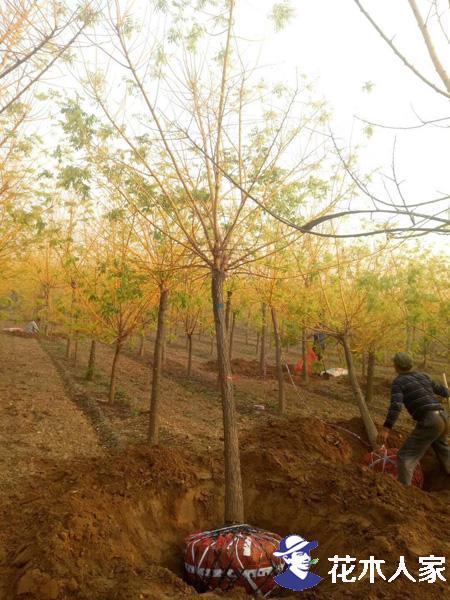 为什么绿化工程黄金槐的需求量会那么大?