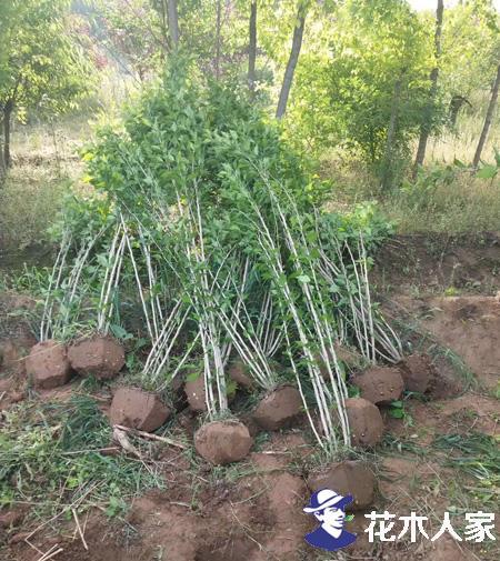 木槿怎么种,木槿的养殖方法和注意事项