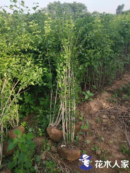 木槿栽培与扦插方法