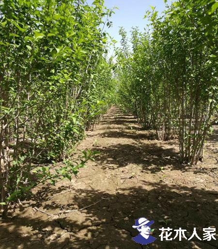 木槿常见病虫害防治方法