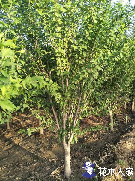 木槿病虫害及防治方法