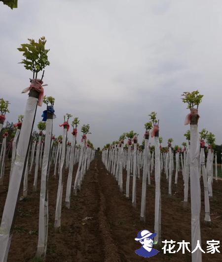 金叶白蜡的栽培嫁接技术