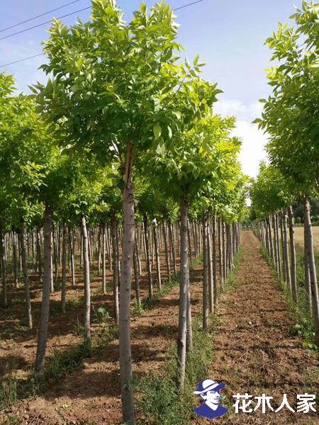 金叶白蜡在园林绿化中的价值